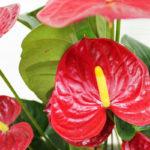 Антуриум — цветок фламинго